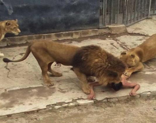 Lions Shot Dead