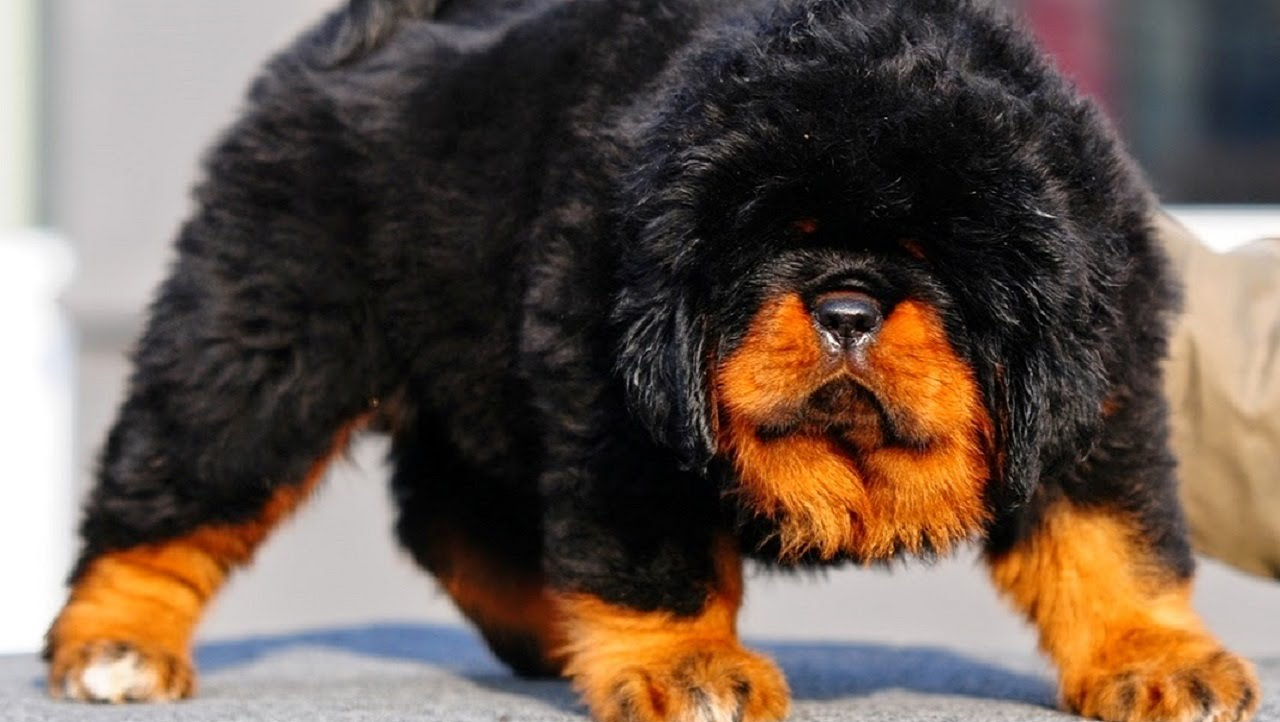 What Are The Most Expensive Dogs Breeds