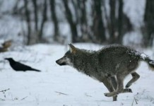After A Century Of Disappearance, It Occurs That Wolves Have Returned To Belgium