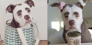 World's Saddest Dog English Bulldog