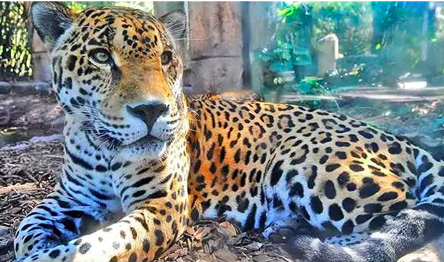 Marvelous Jaguar From New Orleans Zoo Escapes, Kills One Animal After Another