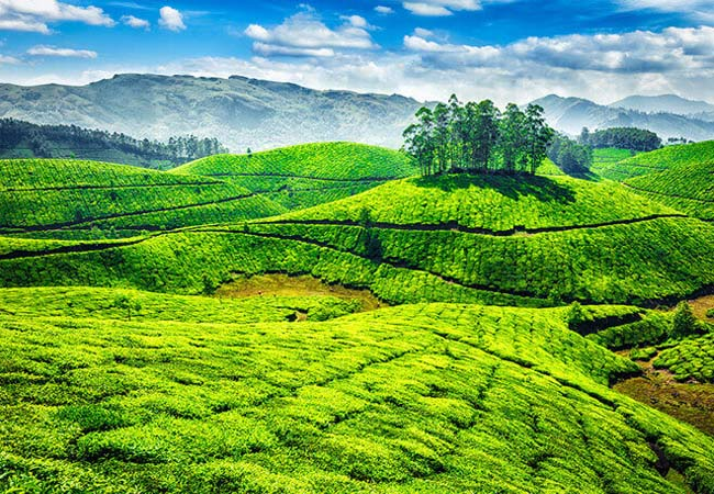 tea garden of munnar