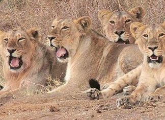 11 lions found dead at Gir