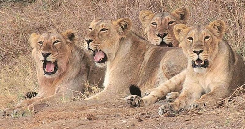 11 lions found dead at Gir
