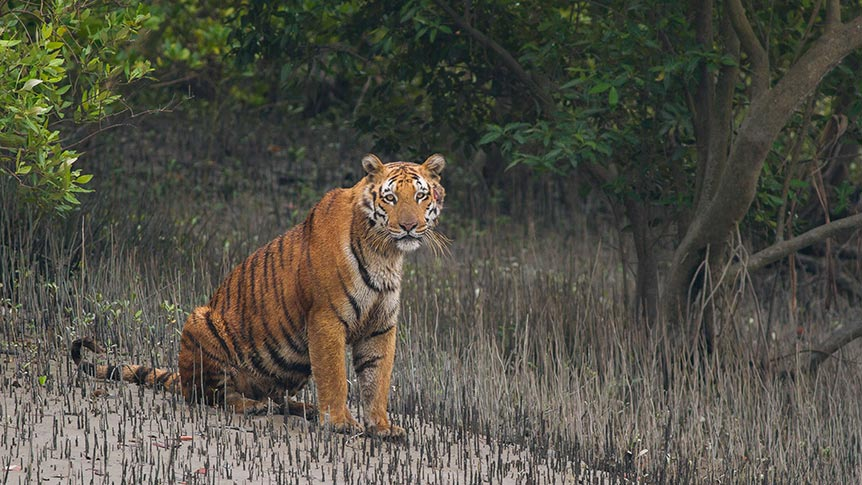 Sundarbans tiger