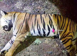 tigers in Maharashtra