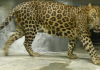 Leopards in India