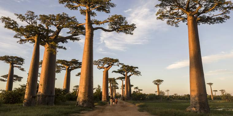 Avenue of the Baobabs,