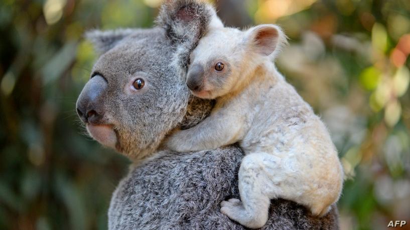 Koalas  Australia's Most Famous Animals