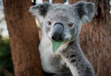 how to save Koalas