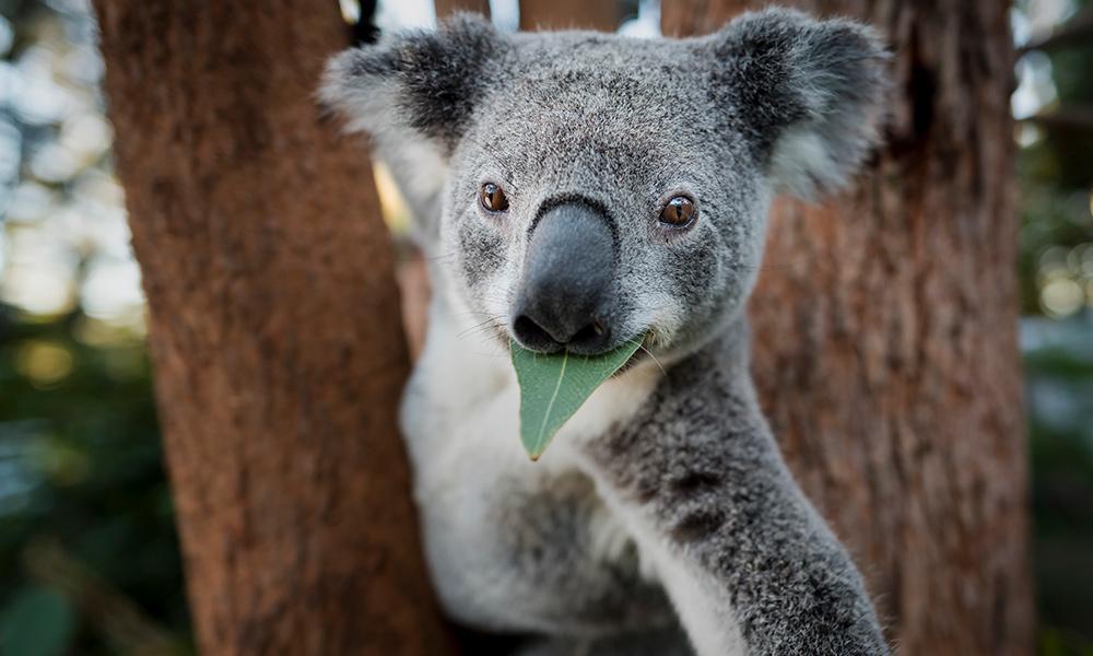 how to save Koalas