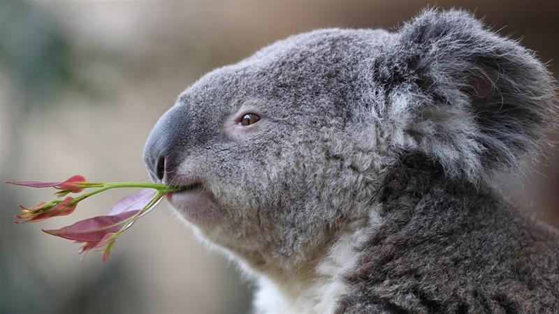 hundreds of Koalas feared dead in Australia