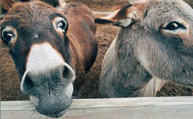 threat to donkey population in China