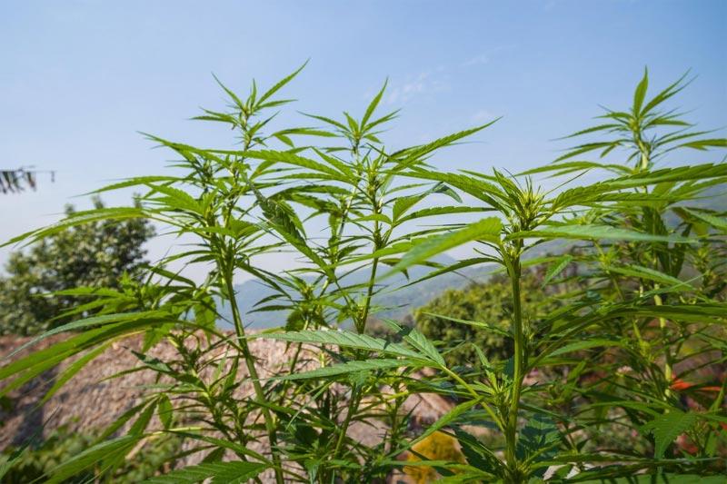 Marijuana growing in Chiang Mai, Thailand
