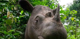 saving the Sumatran Rhino