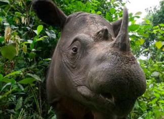 saving the Sumatran Rhino
