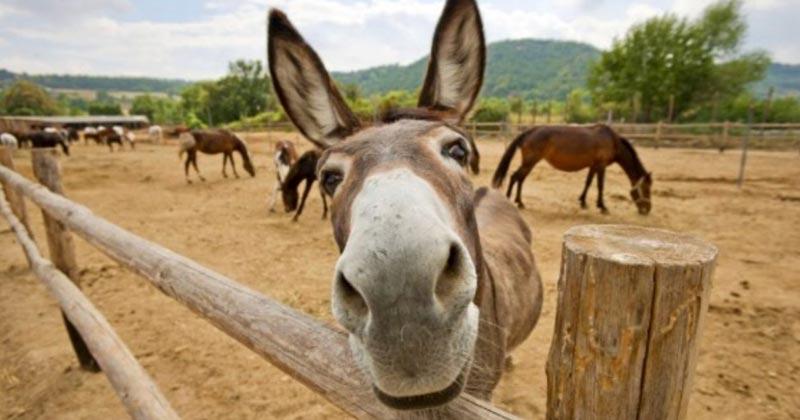 threat to donkey population China