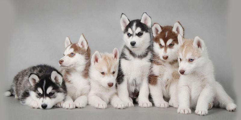 Alaskan Malamute Puppy, Best Family Dogs Kids