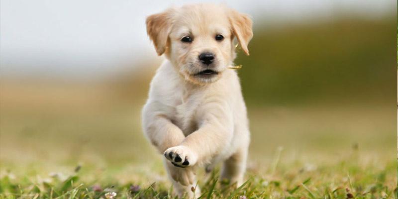 Labrador Retriever Puppy, Cute Dogs For Families