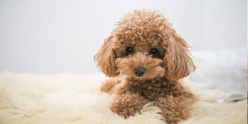 Poodle Puppy, Breed | Dogs for kids with allergies