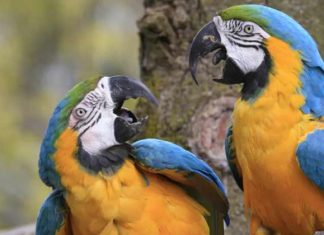 Why Can Parrots Speak