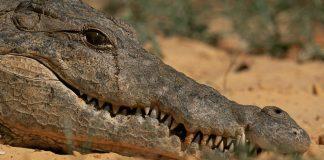 Why do we say Crocodile Tears
