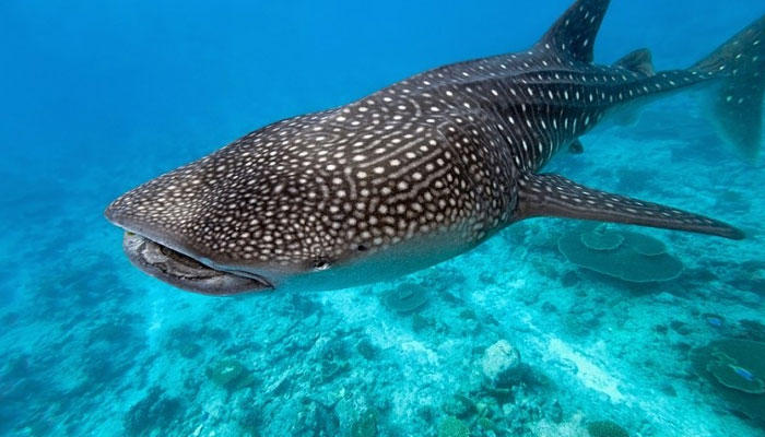 Whale sharks in Maldives