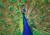 peacock population of India