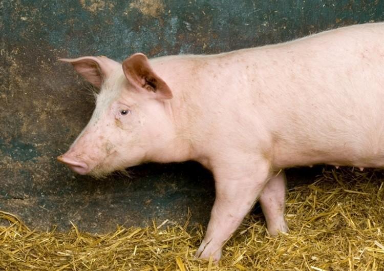 vaccine for new swine fever