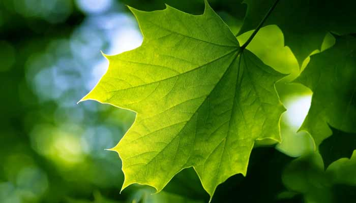 Why Leaves are Green in Colour