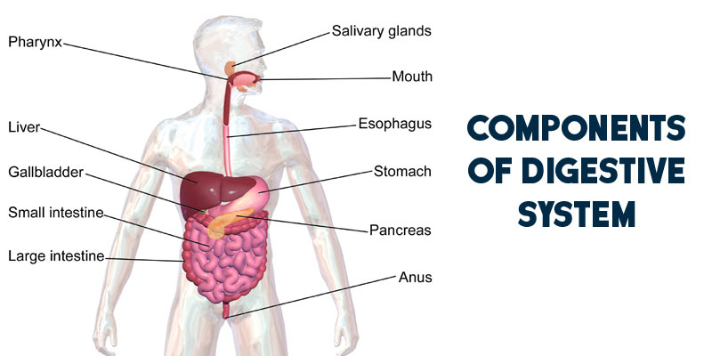 Components Of Digestive System | How Food is Digested