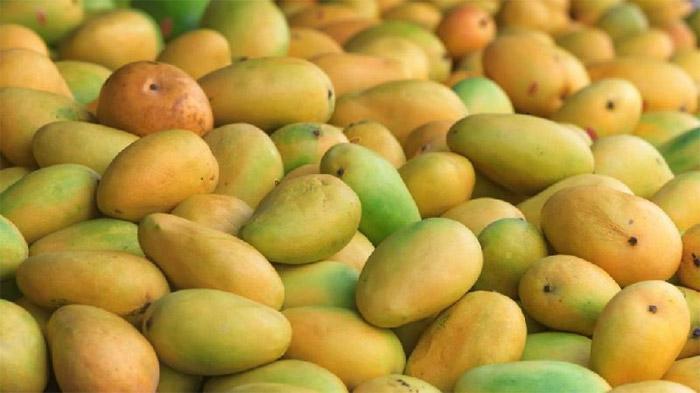 Kesar Mangoes
