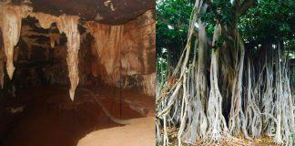 Deepest root of tree - fig tree