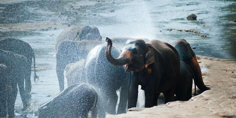 How Elephants Regulate Their Body Temperature