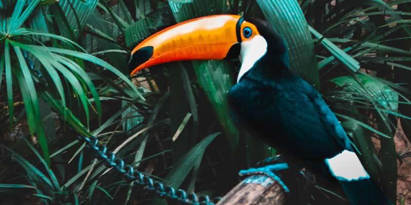 How Toucan Keeps Itself Cool