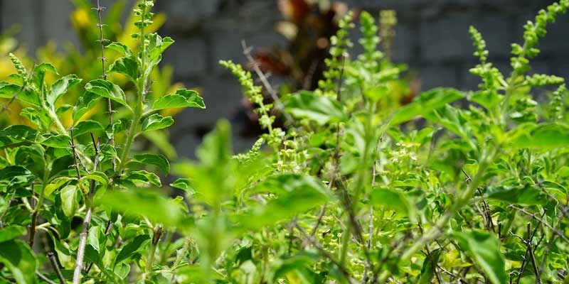 Tulasi Leaves Benefits