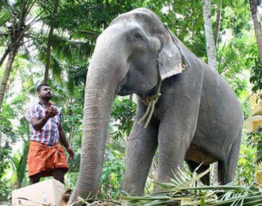 World's Oldest Living tusker Dakshayani