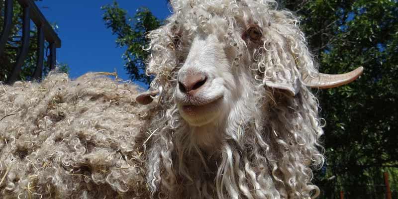 Angora Goat Mohair Wool