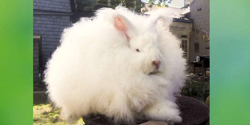 Angora Rabbit Wool | Types of Wool
