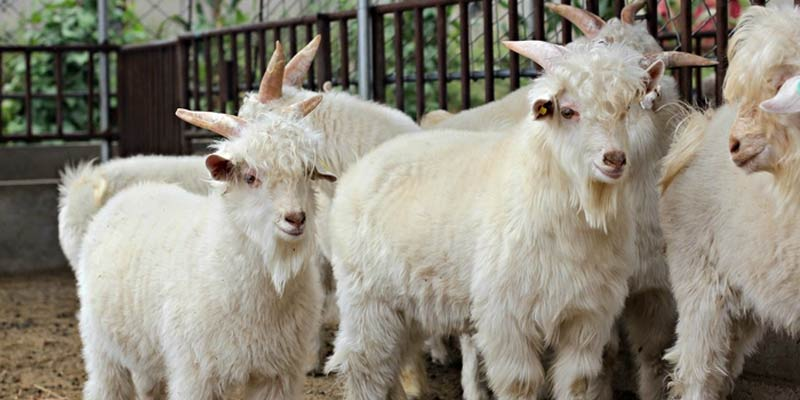 Cashmere Wool Sheep | Types Of Wool
