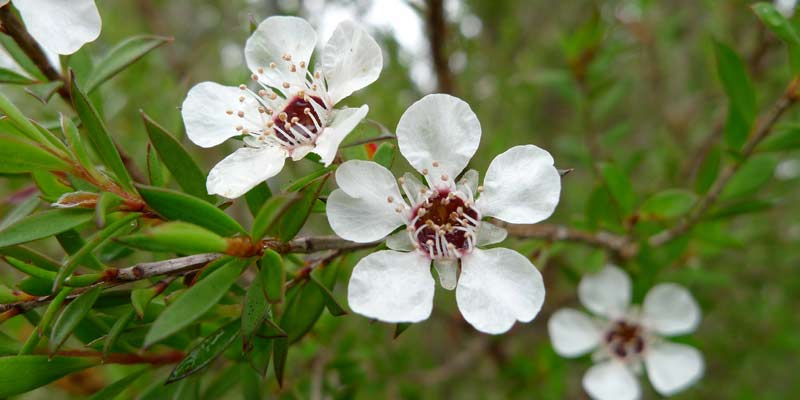 Tea Tree Oil Flower | Benefits of Tea Tree Oil for Skin