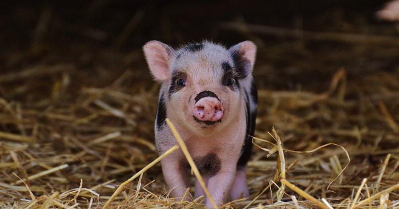 Mini Pig Pet Finland