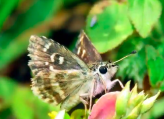 rare butterfly species