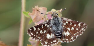 Spialia Zebra | 1328th Butterfly Species Discovered In India
