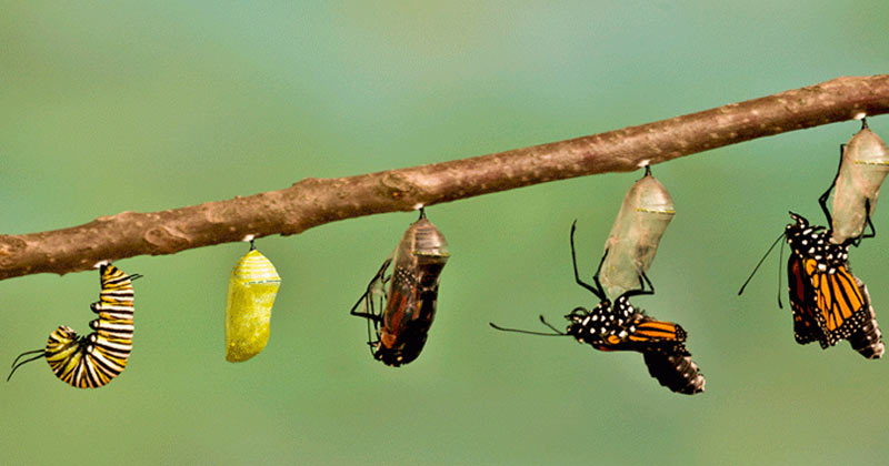 Caterpillar | why does the caterpillar eat so much