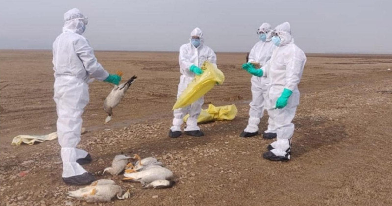 Medical Staff Picking up dead birds | Bird Flu in Rajasthan, India