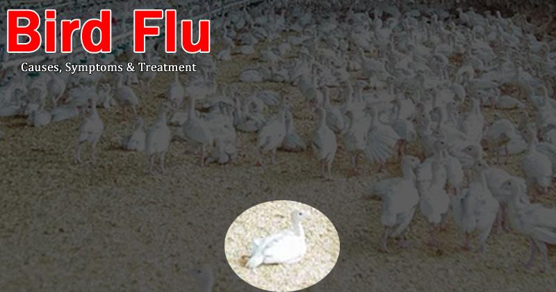 Brid Flu Causes, symptoms, treatments