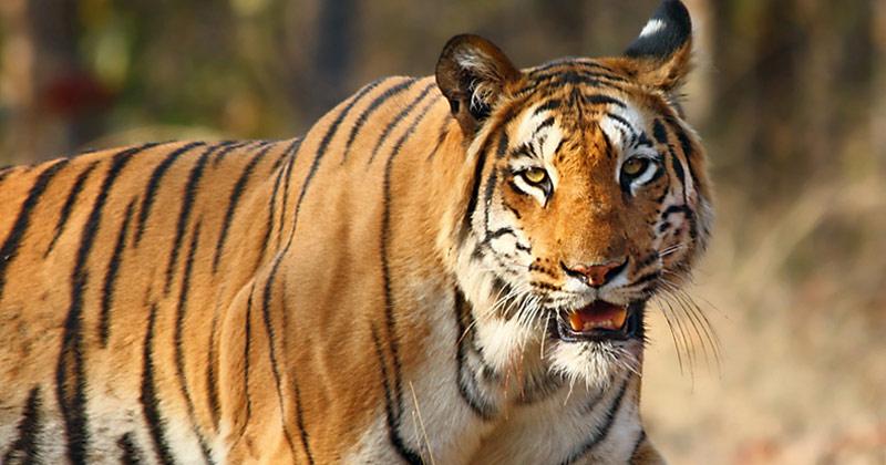 Tiger | North East Wildlife