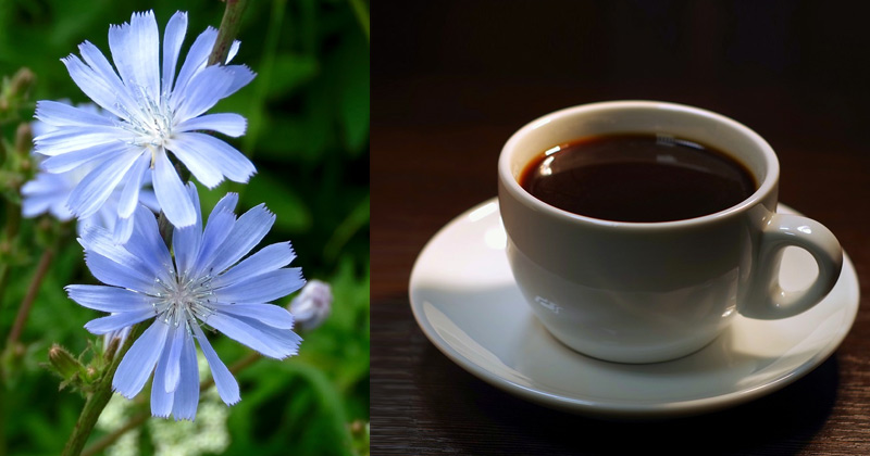 Cup of Chicory Coffee | What is Chicory Coffee