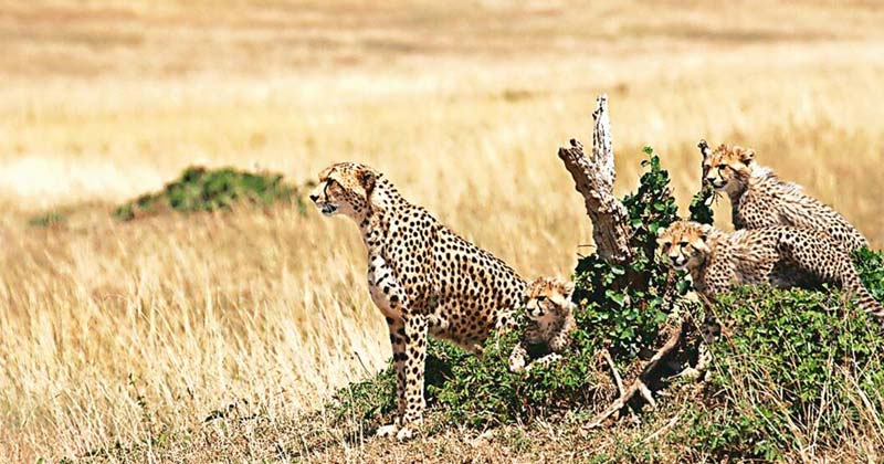 African Cheetahs Moving To India